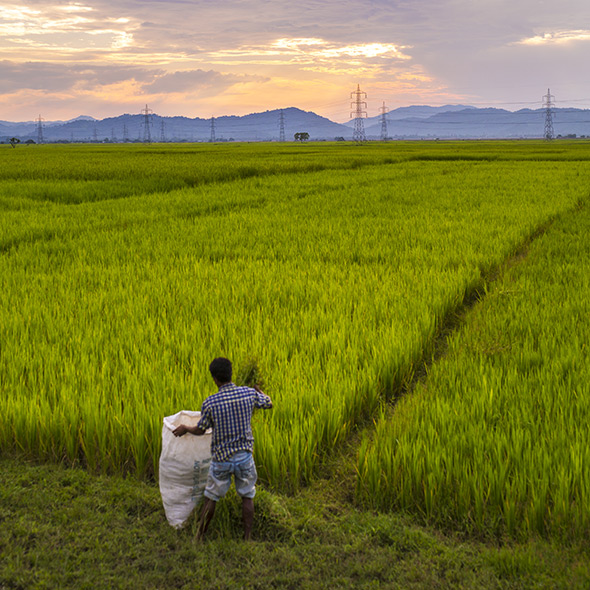 Man working at a rice field with power supply line in background (photo)